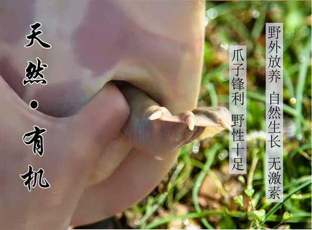 鄱阳湖纯野生甲鱼3/4年1.5斤售价179可快递